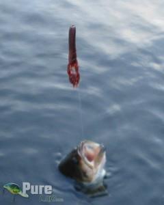 Black bass pescado con un Medium Craw de Gary Yamamoto